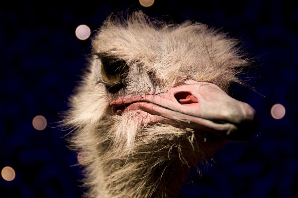 ostrich-238470_1280