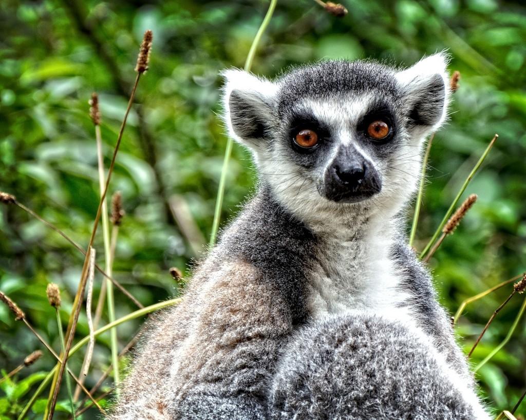 ring-tailed-lemur-874667_1920