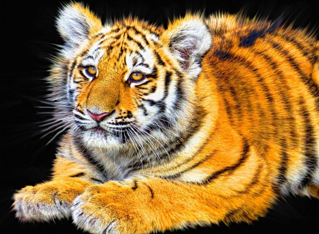 tiger-1122854_1280