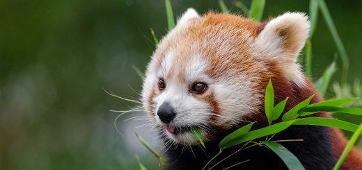 red-panda-1182078_1280